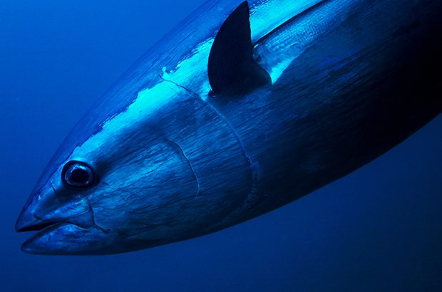 bluefin tuna rules UK