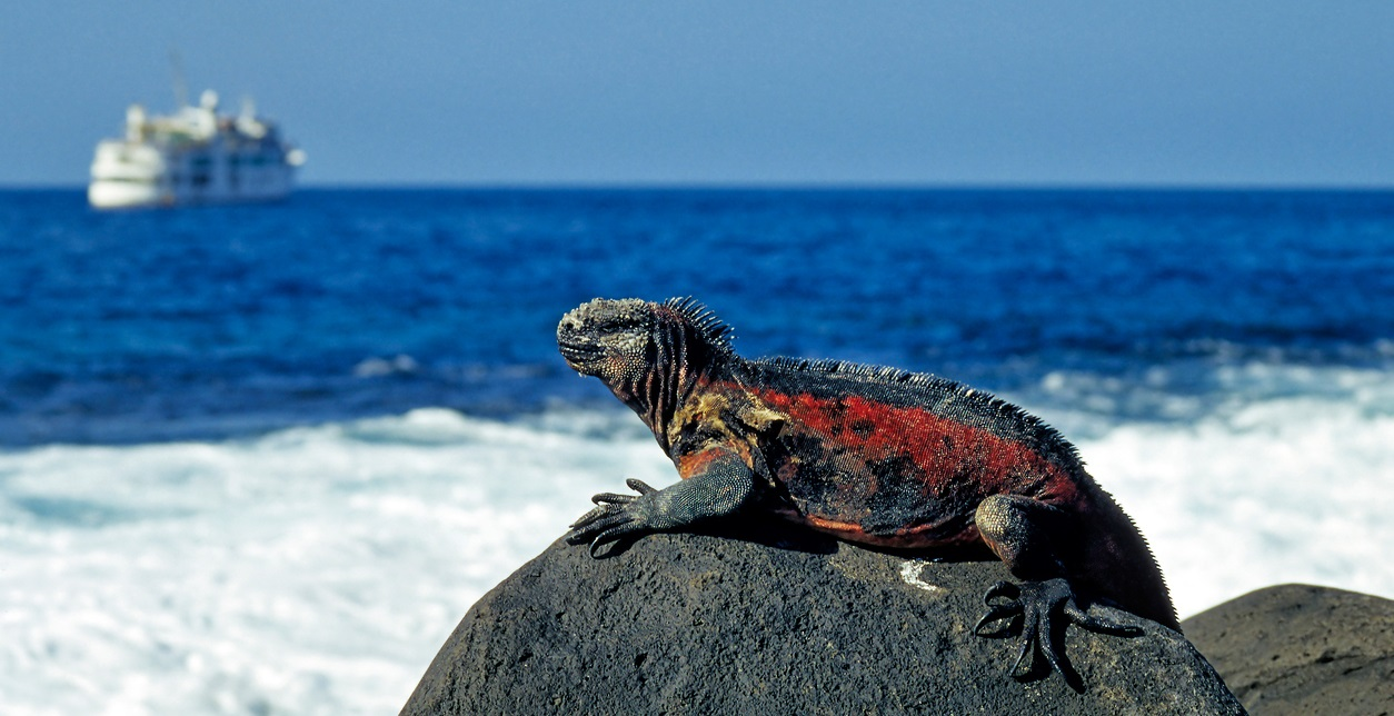 Marine Iguana at the Coast of Espanola Island (Hood), Galapagos