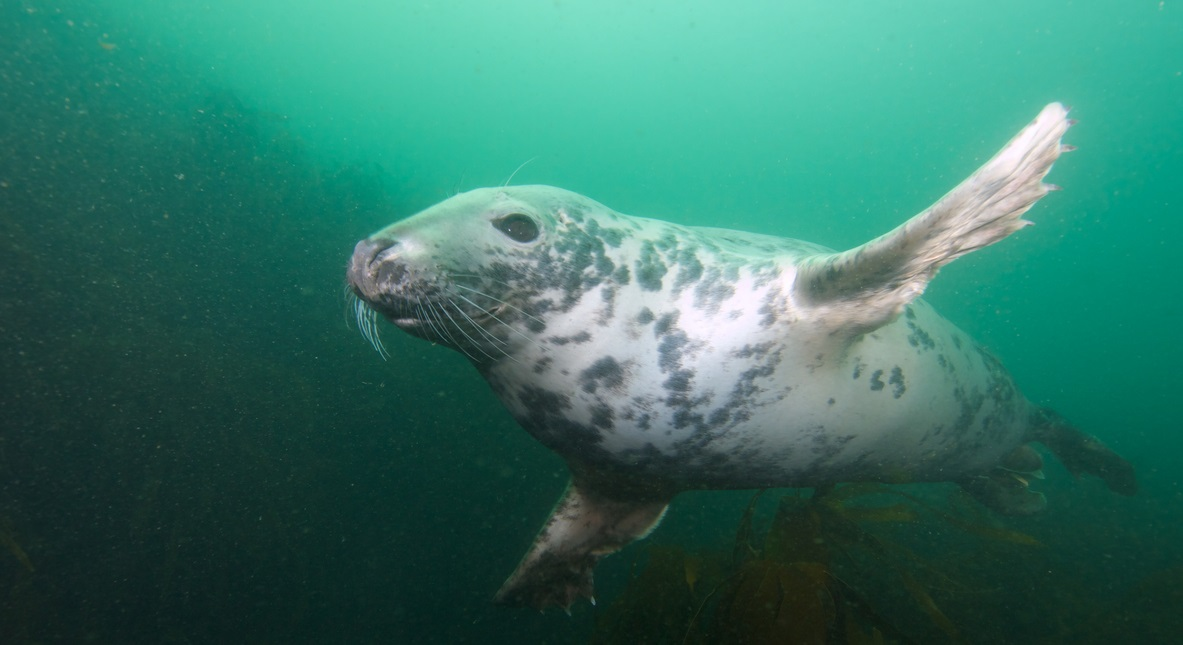 """Wide-angle shot of an inquisitive young grey seal """"buzzing"""" the photographer at North Wames, at the Farne Islands, Northumberland, UK."""