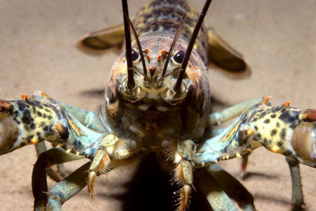 american lobster