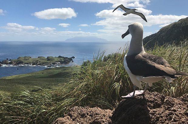 Albatross Tristan da Cunha