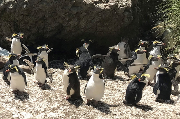 Rockhopper penguins gather at Nightingale Island