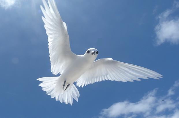 bird ascension island blue belt