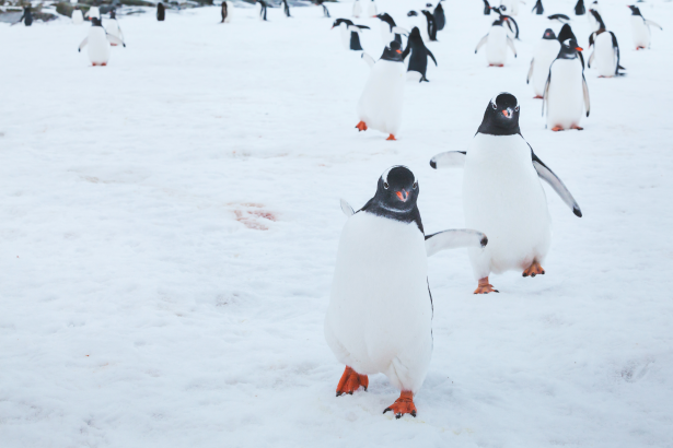 Penguins travelling across the Antarctic Ice