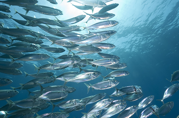 A shoal of mackerel swimming beneath the ocean.