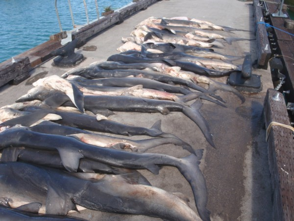 Line of dead sharks that had been landed on a jetty.