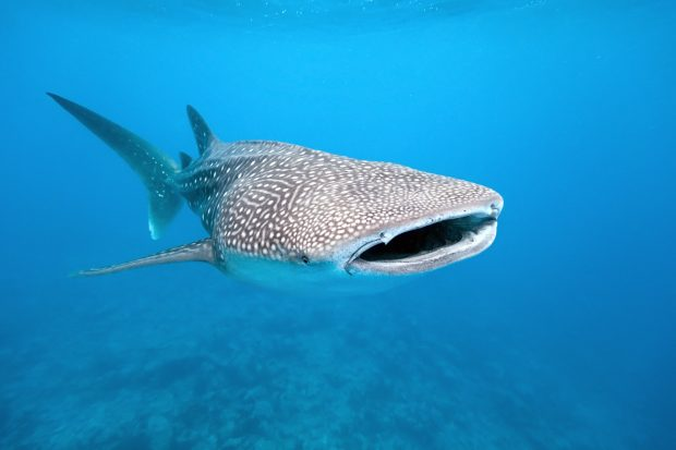 Whale shark swimming