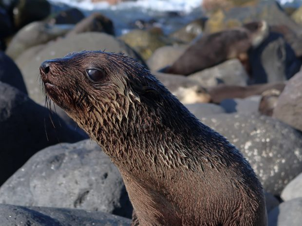 Subantarctic fur seal (Arctocephalus tropicalis) on Pigbite beach, Tristan da Cunha