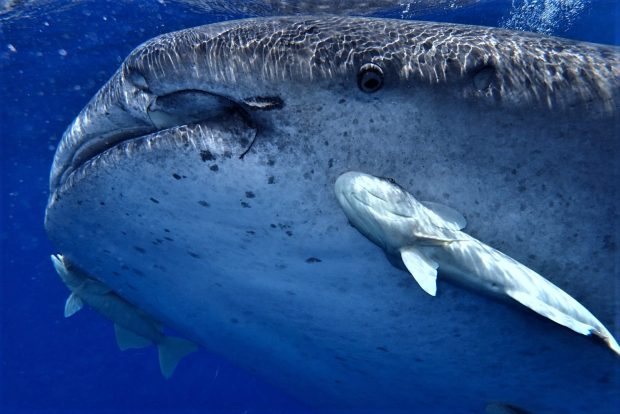 Whale shark pictured in St Helena